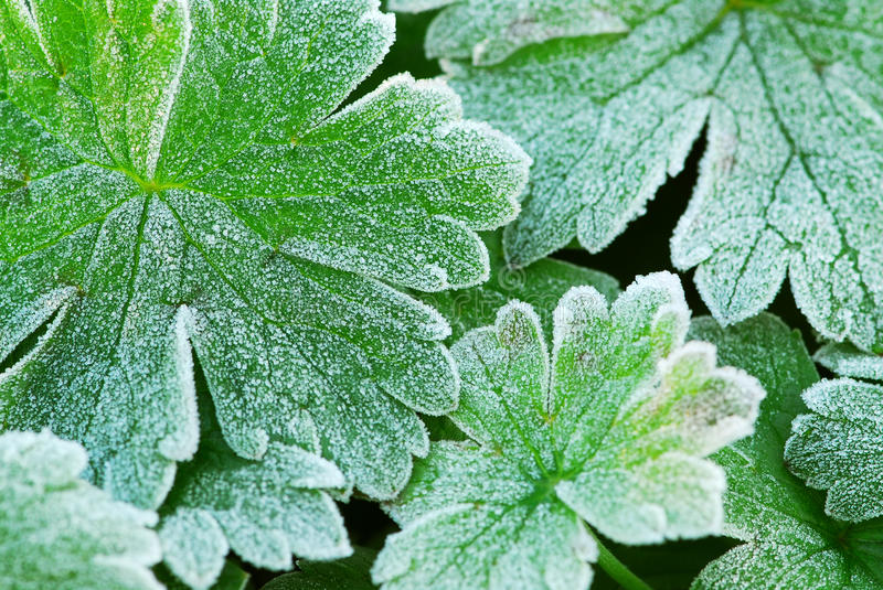 Download Frosty leaves stock image. Image of closeup, hoarfrost - 23506551