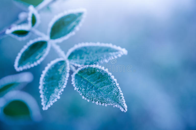 Frosty leaves on the blue background - abstract stock photography