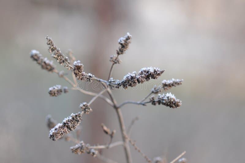 Frosty Leaves da hortelã imagens de stock royalty free