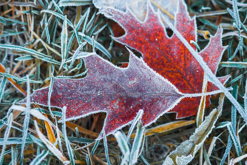 Frosty leaves on grass. Autumn background. Hoarfrost on plants. Cold nature. Creative nature layout stock images