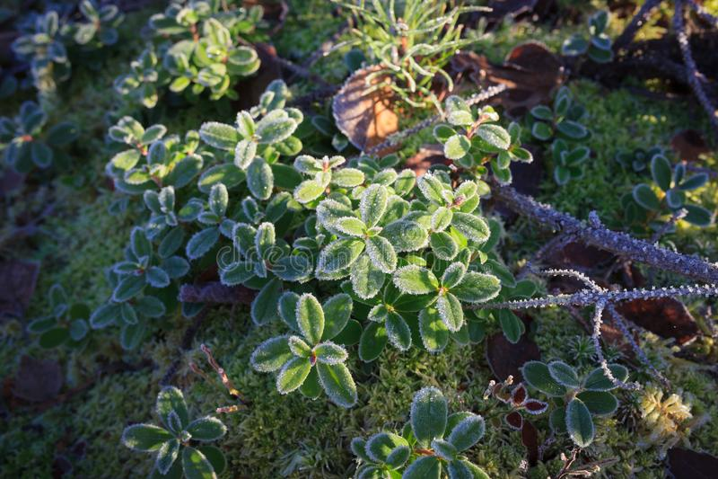Frosty lingonberry twigs. In morning sunshine stock photo