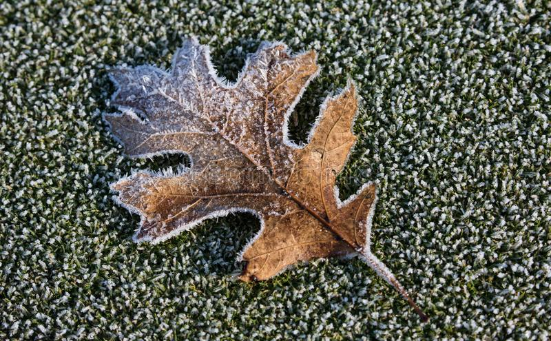 Frosty Winter Maple Leaf royalty free stock images