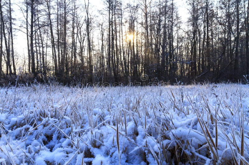 Frosty morning in a dark wood. Light dry grass, frost on the grass, great snow cover, precipitation stock images