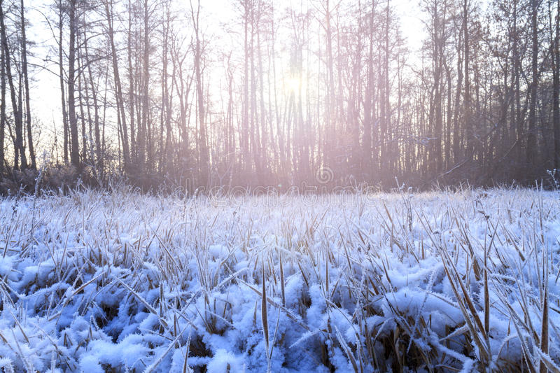 Frosty morning in a dark wood with sunny hotspot. Light dry grass, frost on the grass, great snow cover, precipitation stock photos