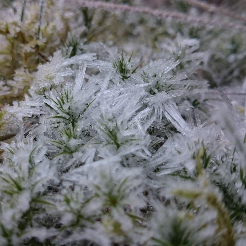 Frosty Moss royalty free stock photo