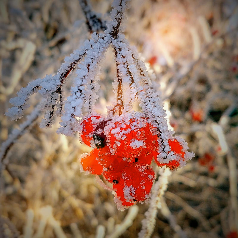 Frosty mountain ash royalty free stock photography