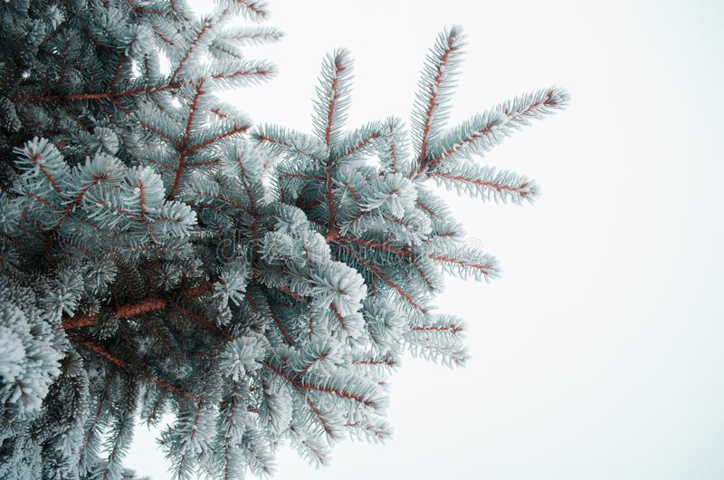 Frosty needles covered with snow stock photos