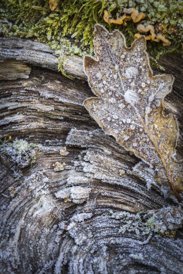 Frosty Oak Leaf in Scottish Highlands. Frosty Oak Leaf on wood in Scottish Highlands royalty free stock photography