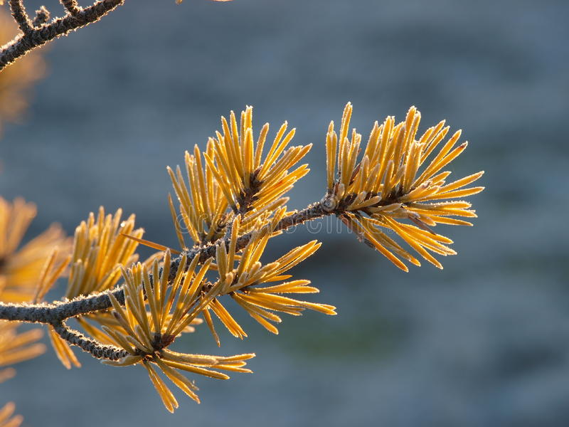 Frosty pine branch. In Kakerdaja Bog royalty free stock images