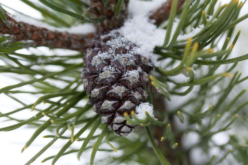 Frosty pine branch with cone at winter in finnish forest close-up. Frosty pine branch at winter in finnish forest close-up stock images