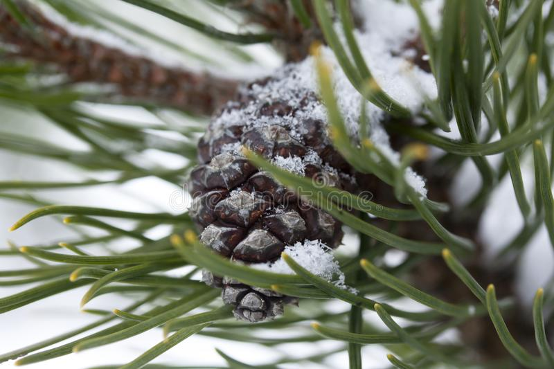 Frosty pine branch with cone at winter in finnish forest close-up. Frosty pine branch at winter in finnish forest close-up stock photography