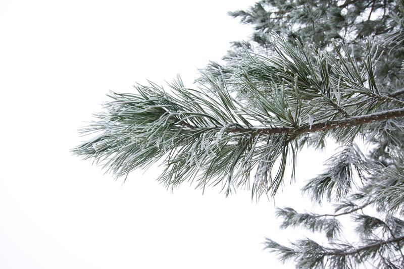 Frosty pine branch at winter in finnish forest close-up. Frosty pine branch at winter in finnish forest close-up royalty free stock photos