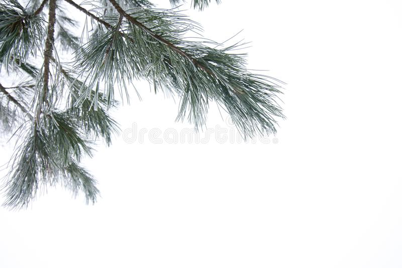 Frosty pine branch at winter in finnish forest close-up. Frosty pine branch at winter in finnish forest close-up royalty free stock photo