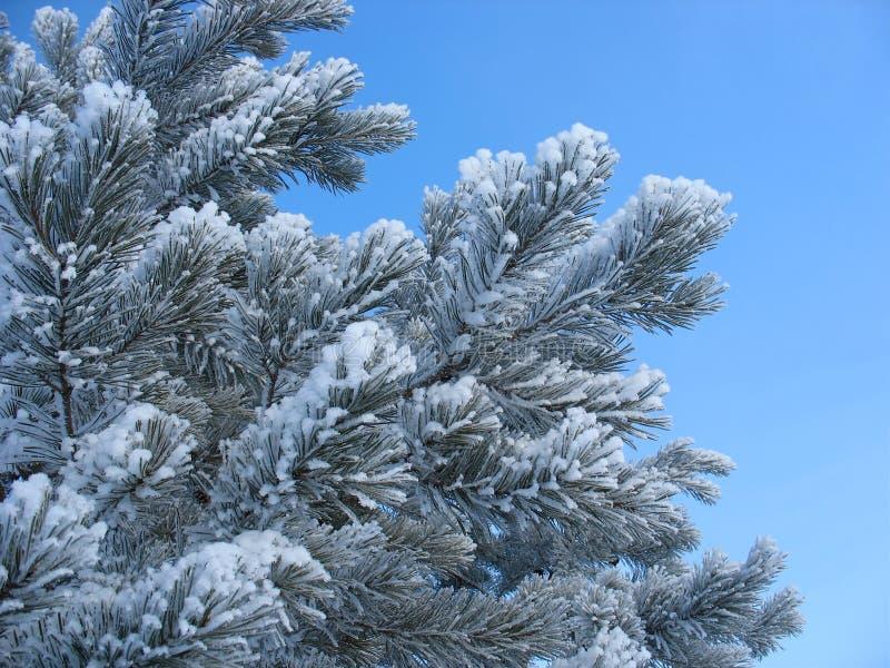Frosty pine twigs stock photos