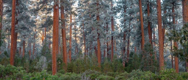 Frosty Ponderosa Pine royaltyfri fotografi