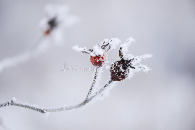 Frosty red berries on a branch royalty free stock photos
