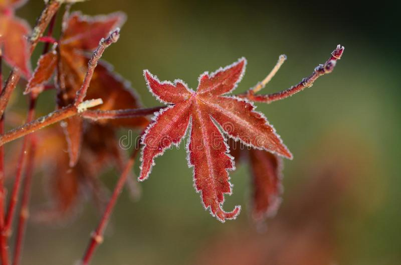 Download Frosty Red Maple Leaf stock photo. Image of frost, leaf - 113106770
