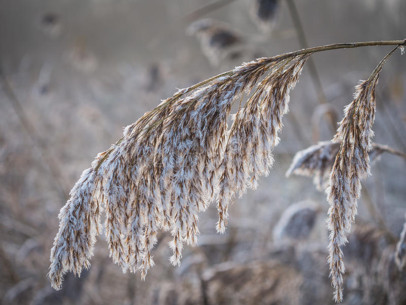 Frosty reed in winter. Fluffy and frosty reed on a winter morning as the sun starts to rise royalty free stock photos