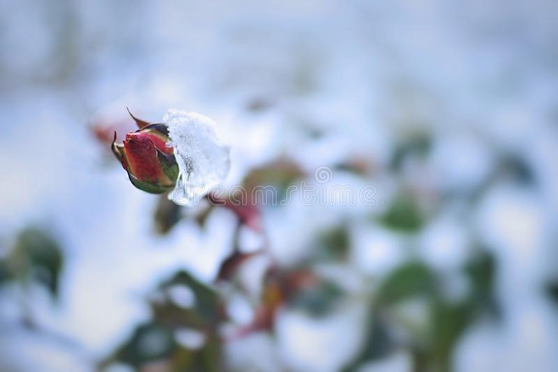frosty rose zdjęcie royalty free