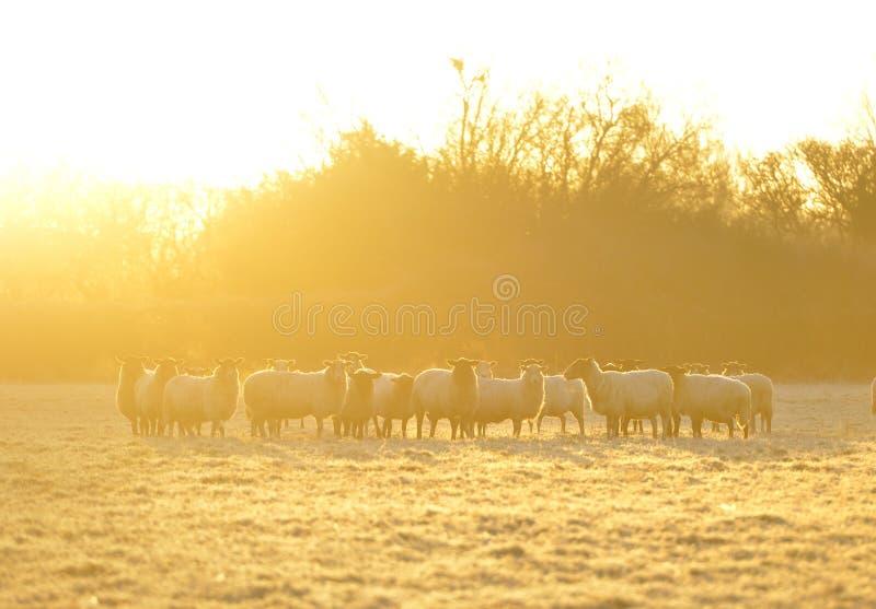 Frosty sheep stock photos