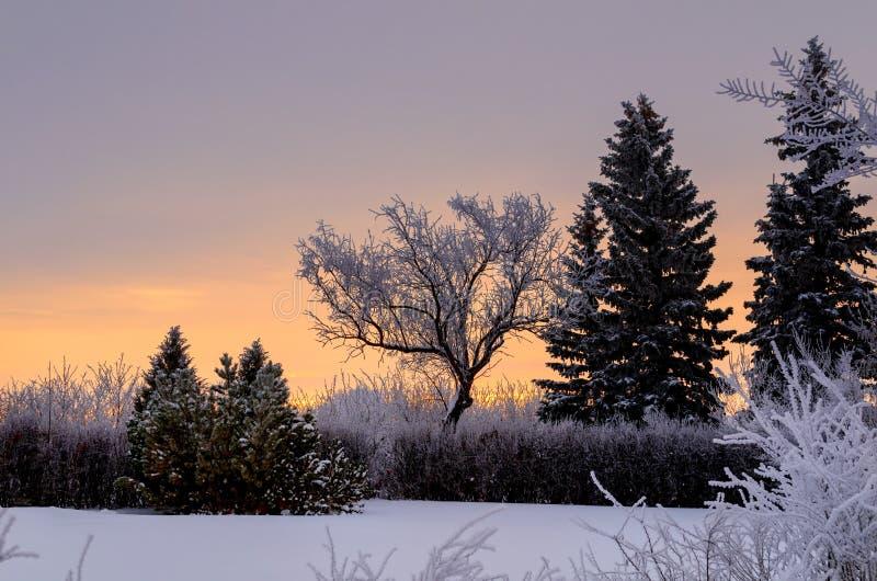 Frosty, snowy night with a purple sky, Christmas tree at night stock photos