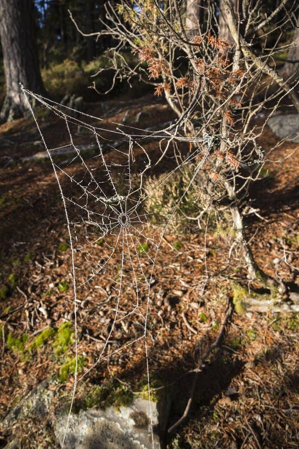 Frosty Spiders Web na floresta de Abernethy em Escócia imagens de stock royalty free