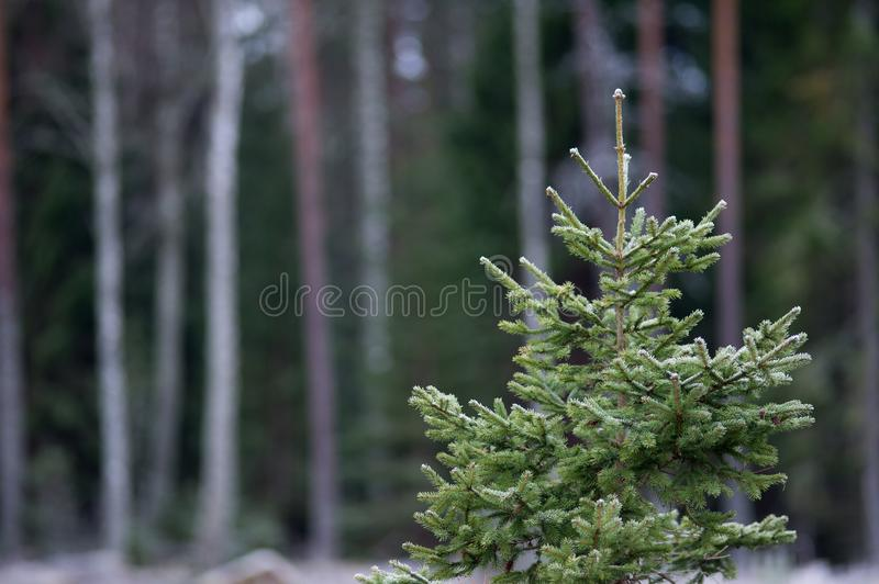 Download A Frosty Spruce Web Background Stock Photo - Image of forest, landscape: 106814864