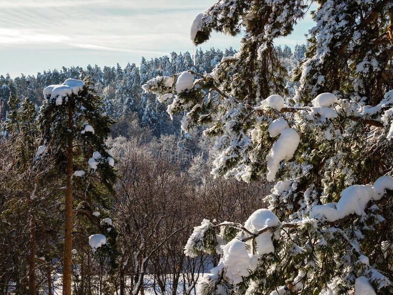 Frosty Sunny Winter Coniferous Forest na manhã fotos de stock royalty free