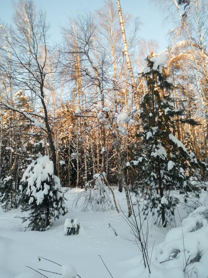Frosty sunny winter day in the snowy countryside. Young fir trees under abundant snow covering. royalty free stock image