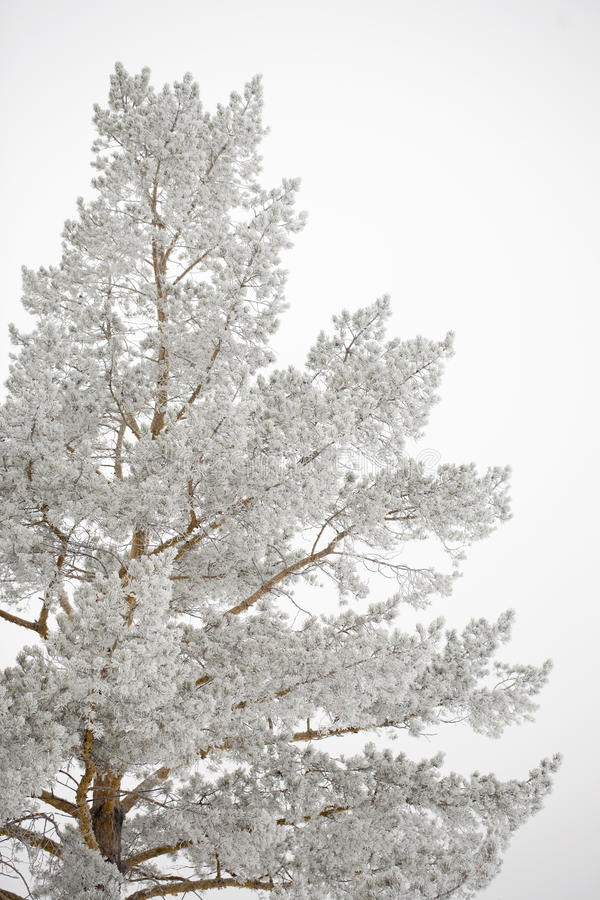 Download Frosty tree stock photo. Image of white, serene, pine - 17420054