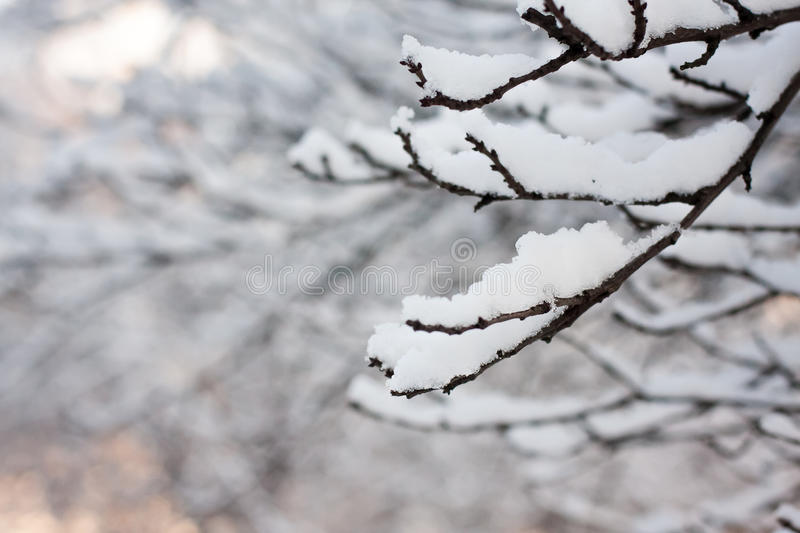 Frosty tree branch in winter. With blurred background royalty free stock photos