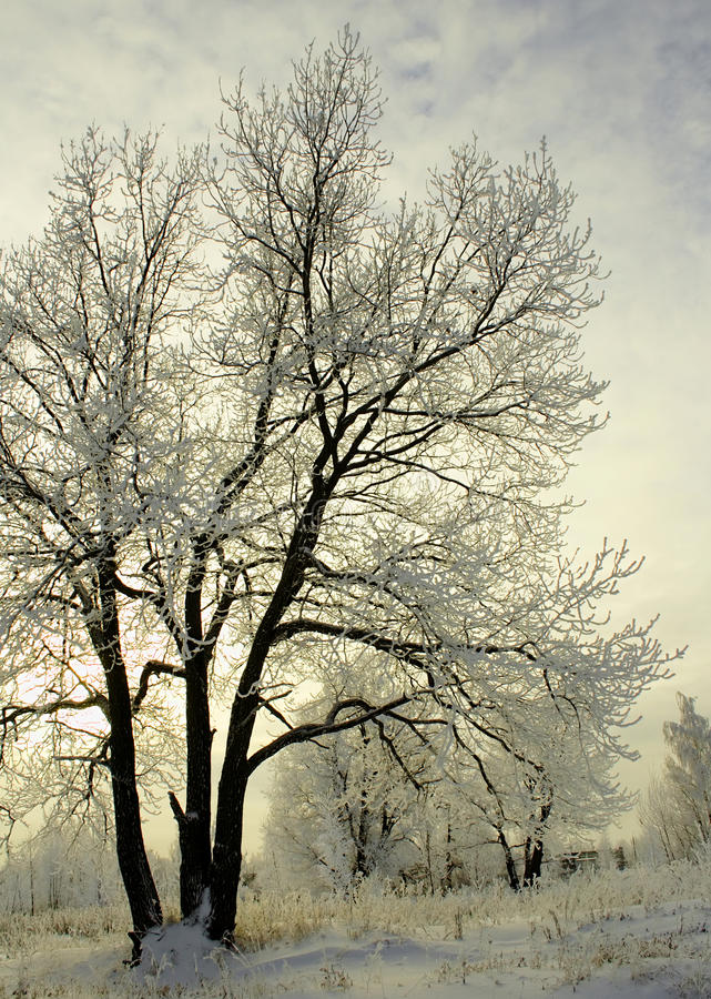 Download Frosty Trees In Winter stock photo. Image of cold, snowy - 12623616