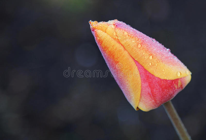 Frosty tulip royalty free stock images