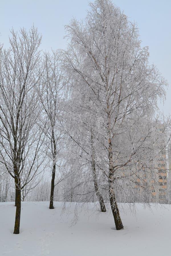 Frosty urban landscape. Scenic frosty nature. Winter vacation. City winter landscape. Winter town vertical image. Birch grove. Frosty urban landscape. Scenic stock photo