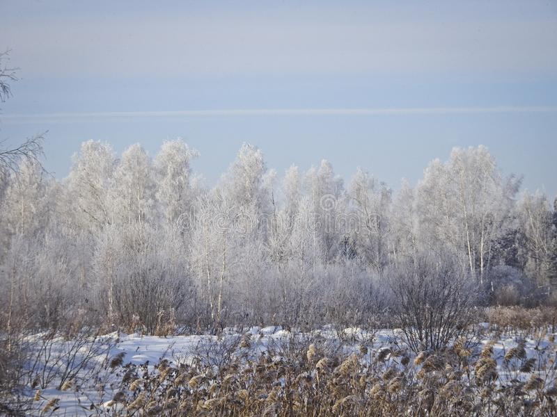 Frosty winter day - birch forest in winter, all trees in hoarfrost royalty free stock photos