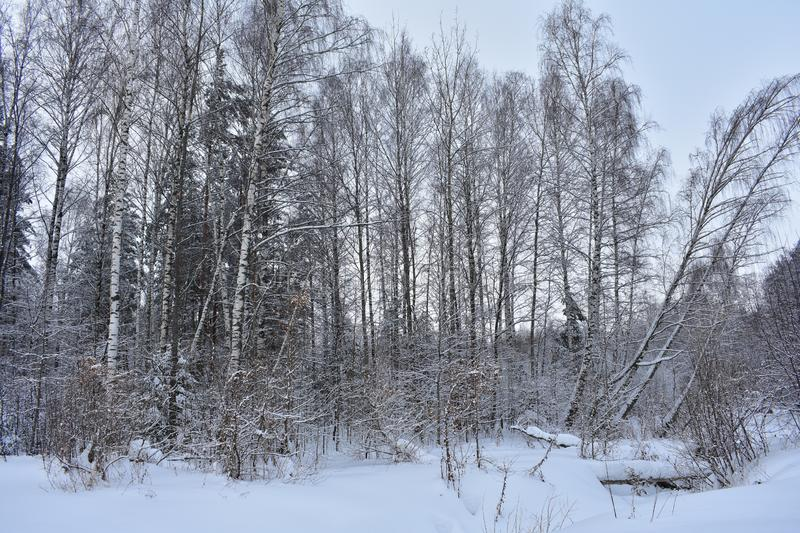 On a frosty winter day it is good to walk through the snow-covered forest. Winter beauty of the forest is an extraordinary miracle royalty free stock photo
