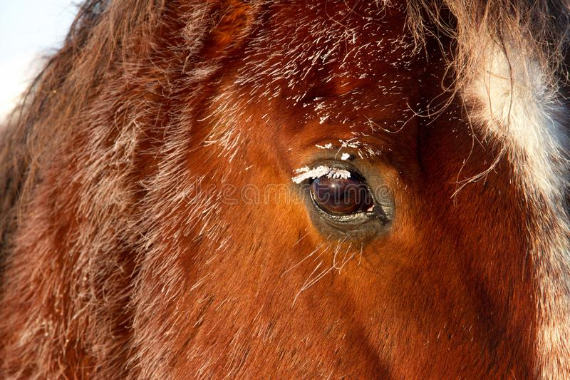 Frosty Winter Horse Eye View. A up close picture of a frosty covered horse eye on a cold winter morning royalty free stock image