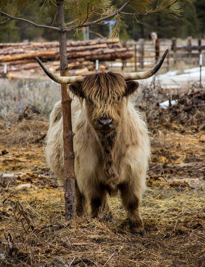 Frottage écossais de vache à montagnard sur un arbre photo stock