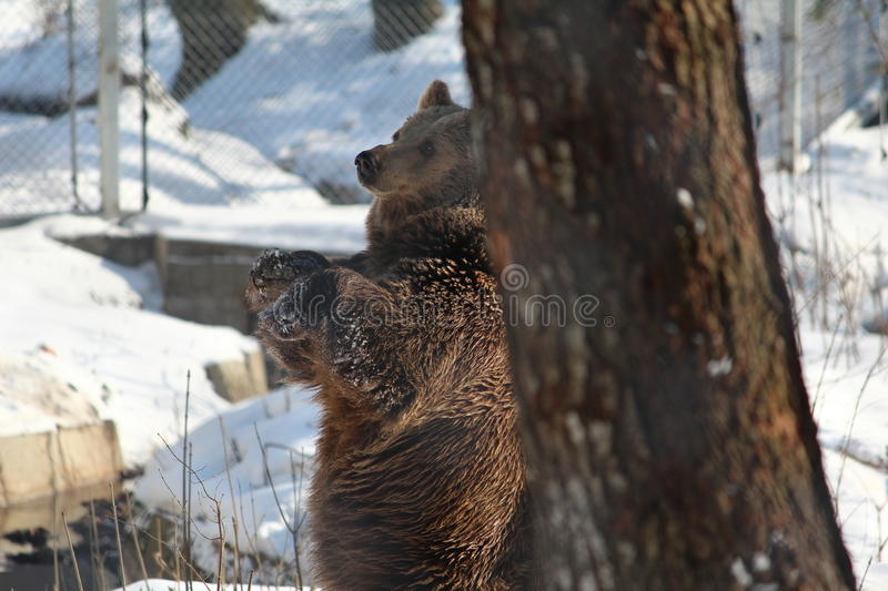 Frottage d'ours contre l'arbre pendant l'hiver photo stock