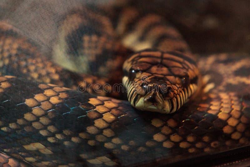 Download Frottez Le Python Connu Sous Le Nom D'amethistina De Morelia Photo stock - Image du reptile, faune: 87701862