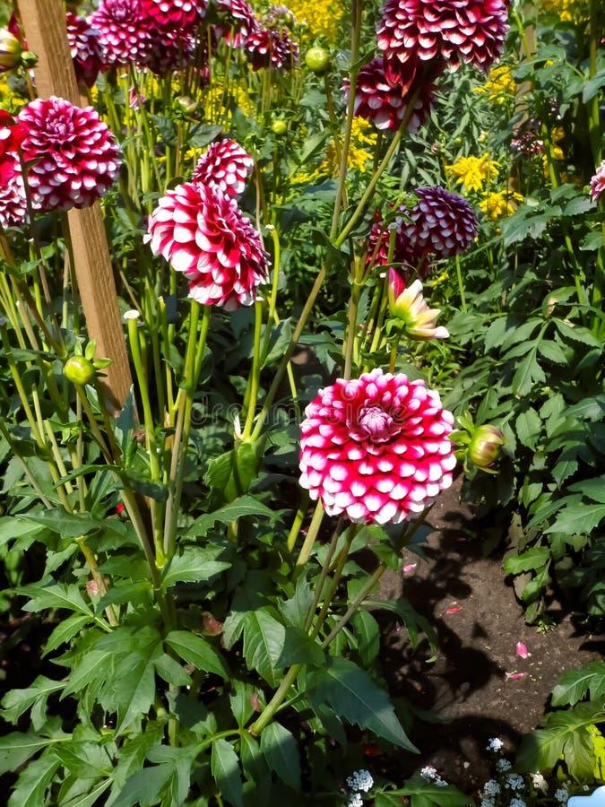 Frowers rouges photo libre de droits