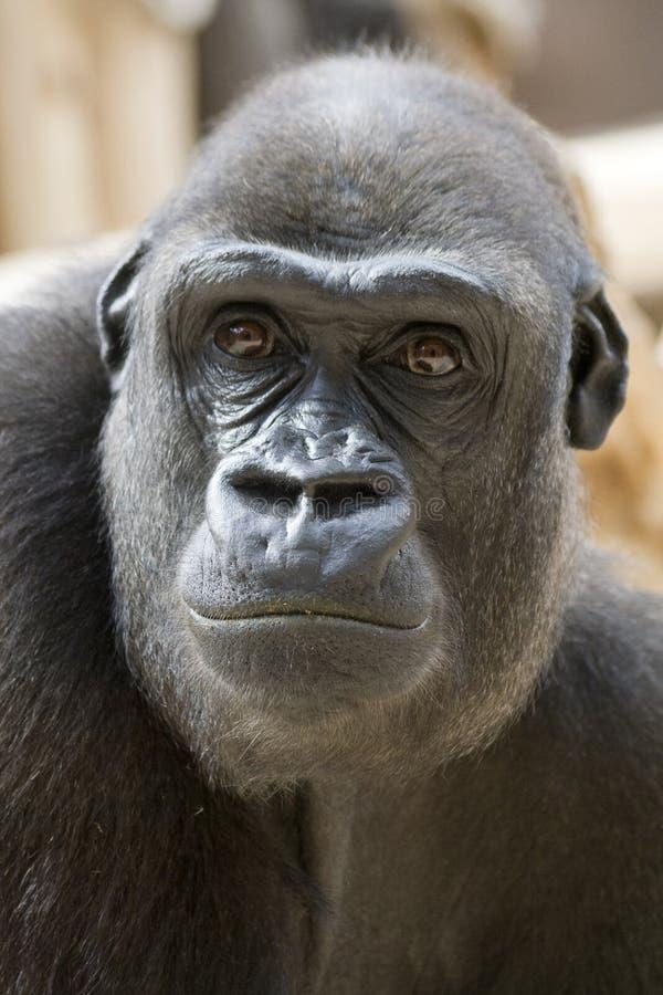 Frown Gorilla Portrait. Gorilla male portrait (concentrated view stock image