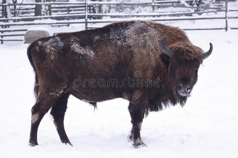 Frozen american bison. The american bison on the snowy ground stock photo