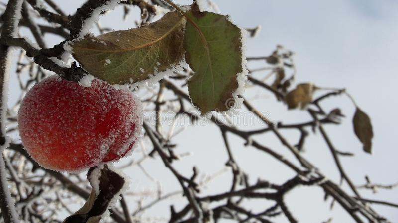 Frozen apple covered with snow on a branch in the winter garden. Macro of frozen wild apples covered with hoarfrost. royalty free stock photography