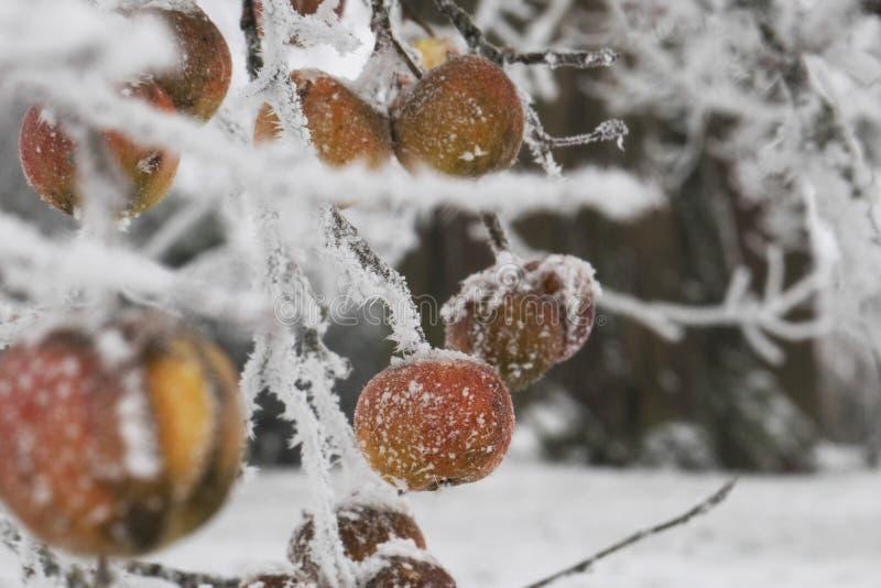 Frozen apple on a tree royalty free stock photos