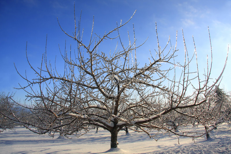 Frozen Apple Tree With Ice Stock Photos