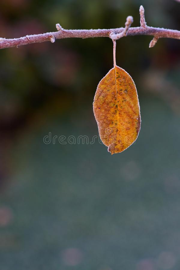 Frozen apple tree twig with frosted last yellow leaf stock images