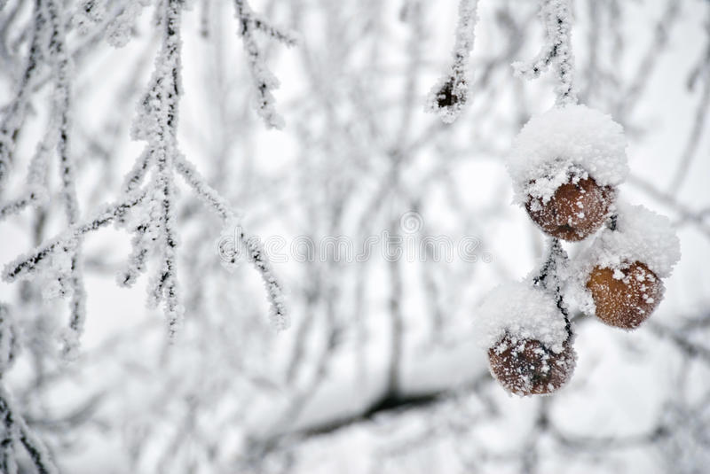 Frozen Apples In A Tree stock photos