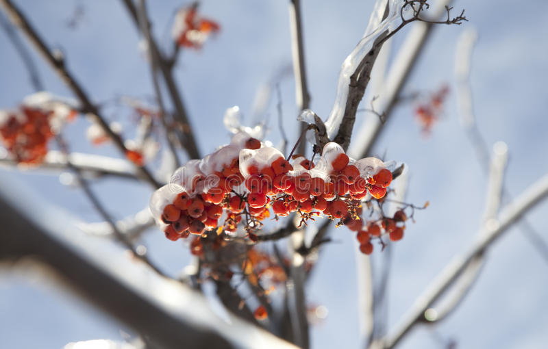 Frozen ashberry stock photography