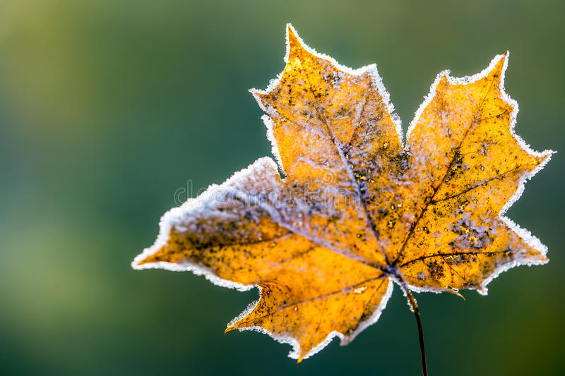 Frozen autumn frost cold morning ice maple leaves. Macro stock photo